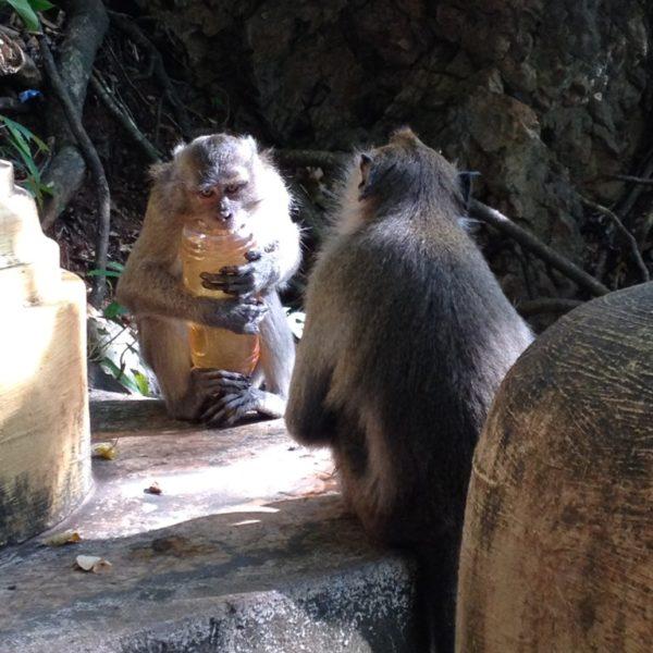 Diebische Affen - Völlig ungniert versuchen die lustigen Lauser die Wanderer abzuzocken... wenn es ihnen gelingt, soll es am Ende auch nicht am Schraubverschluss scheitern!