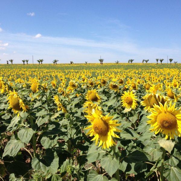Sonnenblumen am Straßenrand