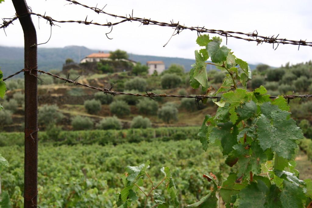 Weinberg auf Sizillien nahe Enna