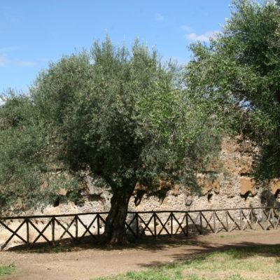 Olivenbäume säumen die Wege in der Villa Adriana