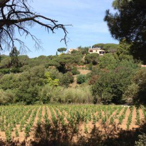 Weinberg in der Provence