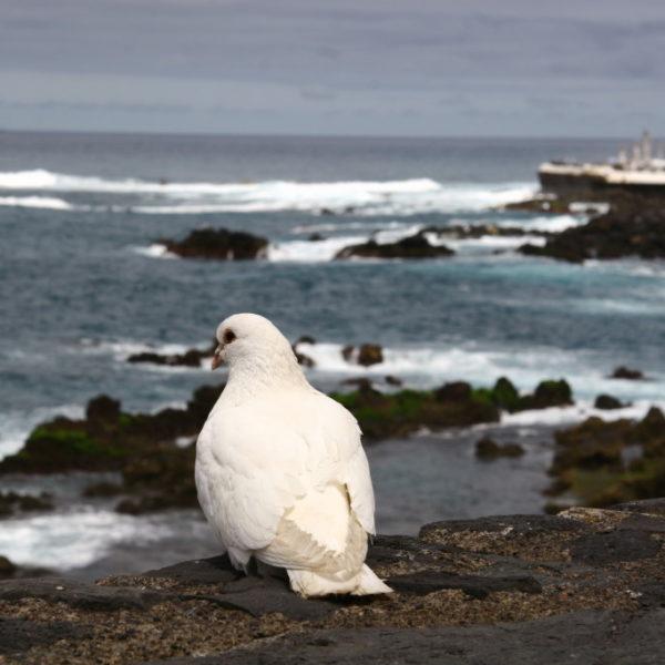 Weiße Friedenstaube vor der Küste von Puerto de la Cruz