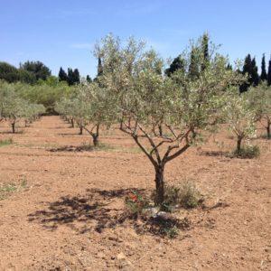 Olivenhain in der Nähe von Valensole