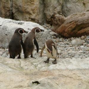 Tiergarten Schönbrunn - Die Pinguine sind los
