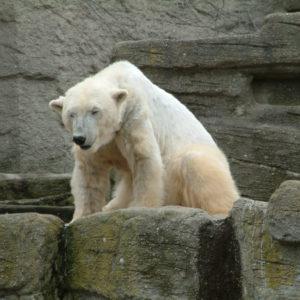 Tiergarten Schönbrunn - Eisbär