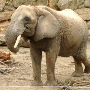 Tiergarten Schönbrunn - Elefant