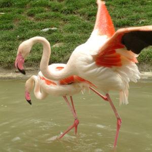 Tiergarten Schönbrunn - Flamingos beim Liebesspiel
