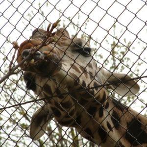 Tiergarten Schönbrunn - Giraffe