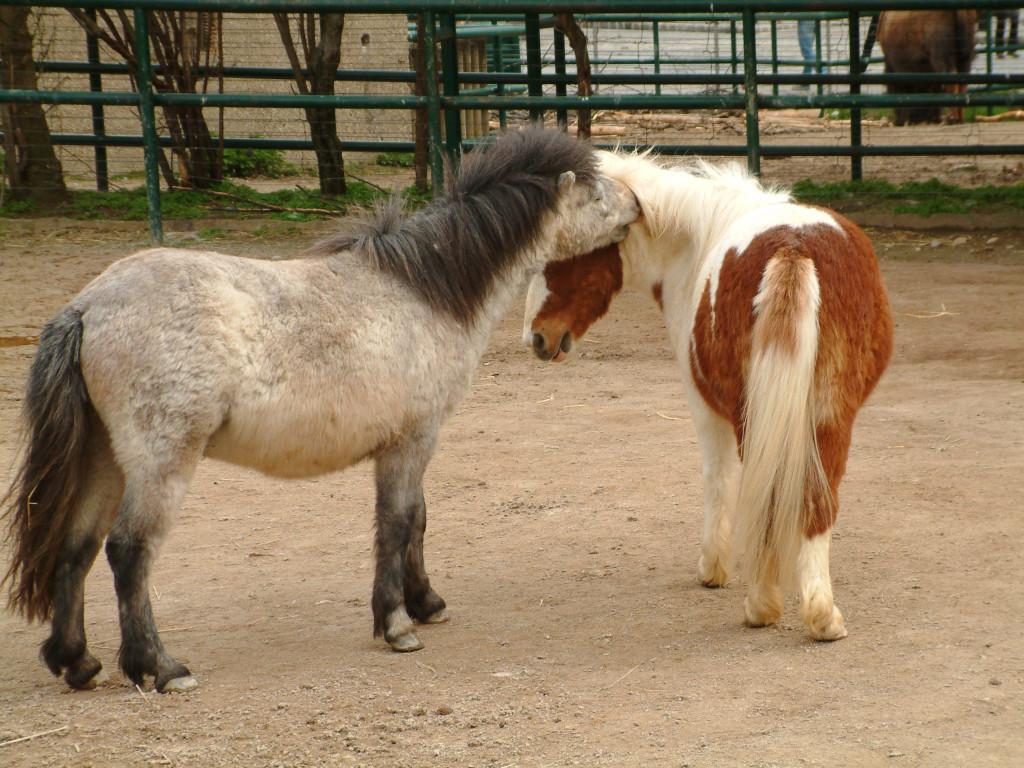Tiergarten Schönbrunn - Zwei Ponys kämpfen und beißen sich. Auf dem Hinweisschild steht, dass sie besonders friedliebend sind und wegen ihrer Freundlichkeit ideal für den Einsatz mit Kindern... Soso...
