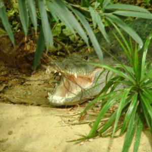Tiergarten Schönbrunn - Krokodil