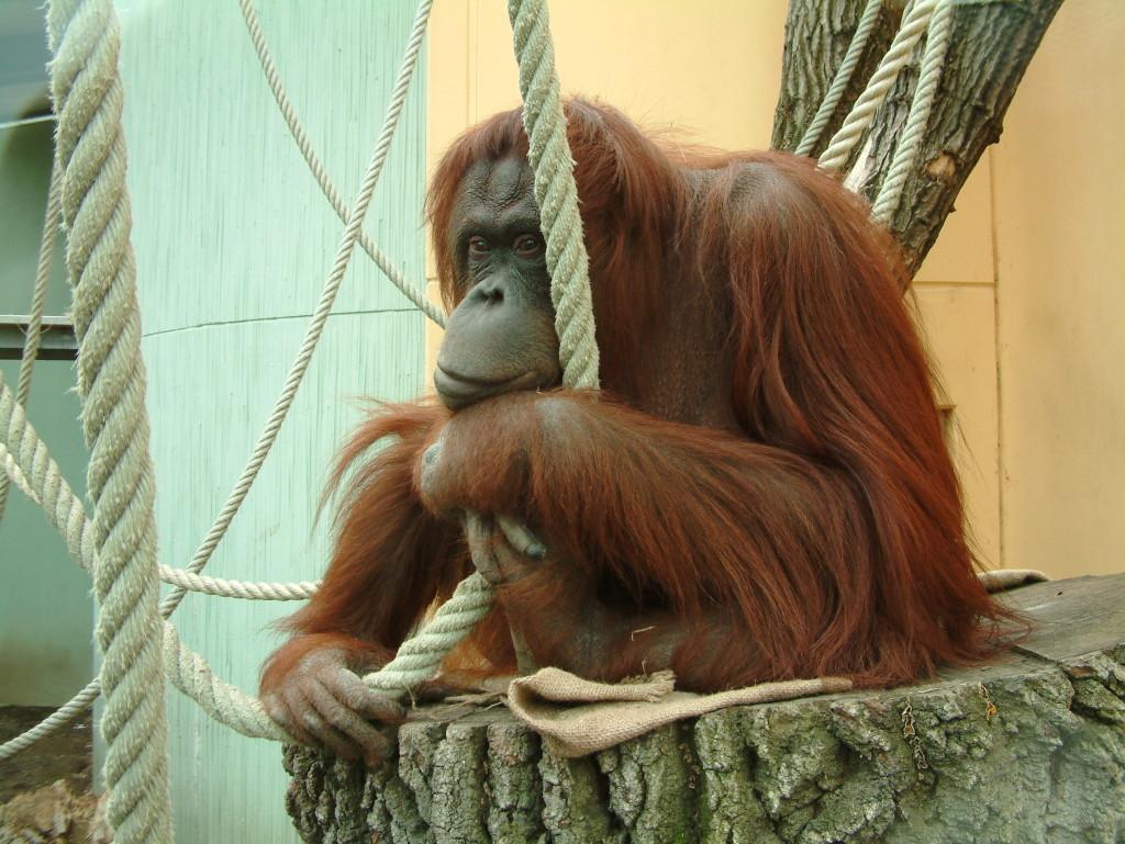 Tiergarten Schönbrunn - Orangutan schaut in Gedanken versunken traurig ins Leere