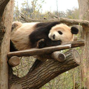 Tiergarten Schönbrunn - Pandabär