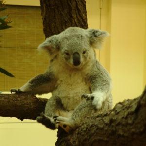 Tiergarten Schönbrunn - Verschlafener Koala