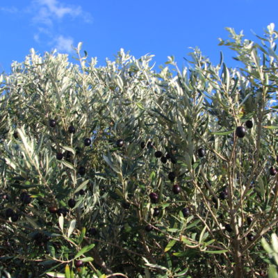 Olivenbäume auf Zypern